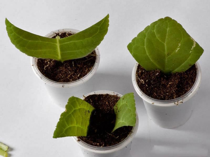 Размножение глоксиний черенками: основные правила подготовки, посадки и укоренения верхушек побегов в домашних условиях, а также возможные проблемы