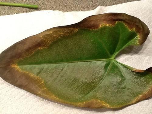 Что делать, если у антуриума коричневые пятна на листьях? причины появления коричневых точек и краев у цветка «мужское счастье», как от них избавиться? что делать, если листья сохнут?