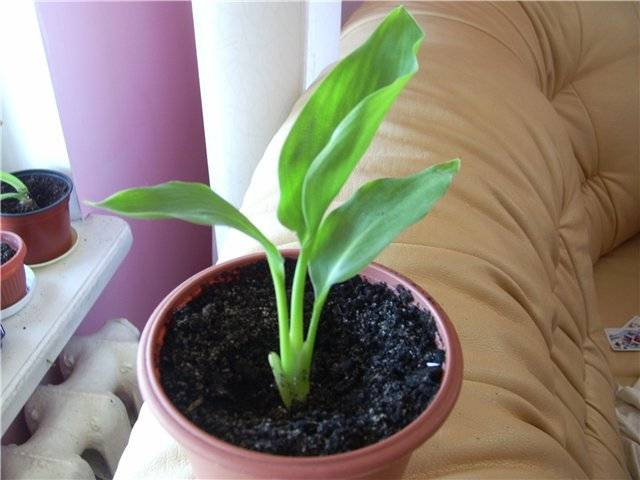 Стрелиция цветок: примеры ухода и выращивания в домашних условиях