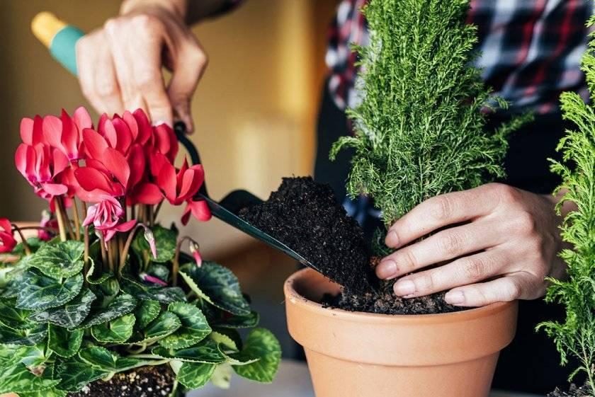 Как пересаживать цветы комнатные правильно