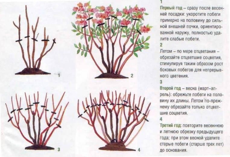Чубушник: посадка и уход в открытом грунте, обрезка, когда цветет?