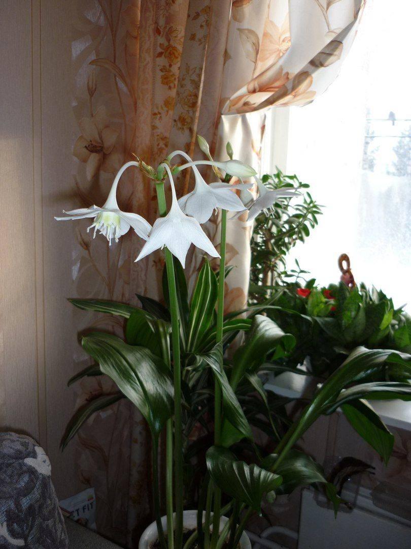 Цветок эухарис (амазонская лилия): уход и пересадка в домашних условиях, фото и описание видов