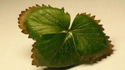 Гортензия побелела: почему появились бледно-зеленые листья и чем подкормить куст