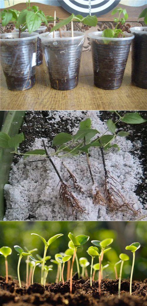 Размножение клематиса черенками летом: как размножить черенкованием в июле? подробное описание процесса, укоренение в домашних условиях
