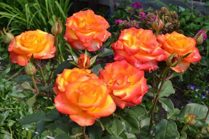 Выращивание чайно-гибридной розы сорта черная магия с темным оттенком лепестков