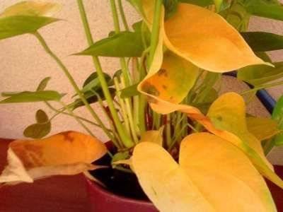 Что делать, если желтеют листья у цикламена: все причины, почему растение вянет во время цветения, чем его лечить, как обеспечить уход в домашних условиях?