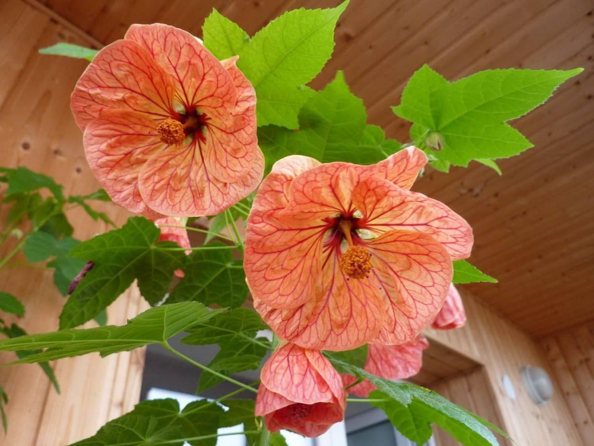 Абутилон: выращиваем изящный «комнатный клён»