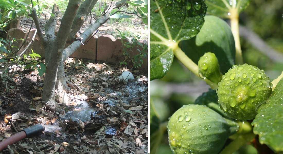 Посадка инжира в открытом грунте – уход за культурой