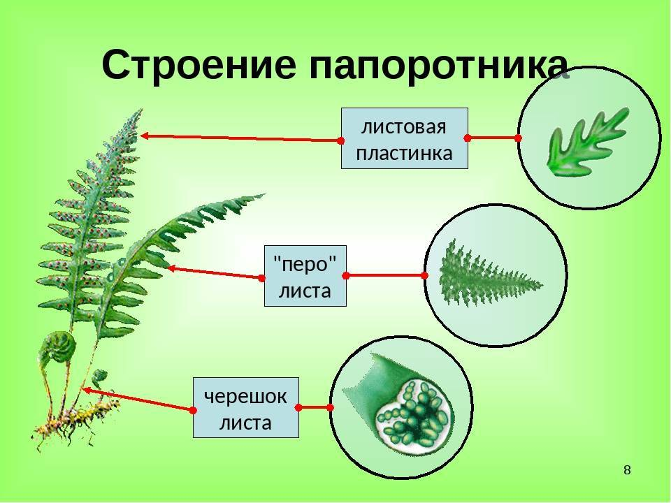 Папоротникообразные растения: описание жизненного цикла разных видов, их роль в хозяйстве