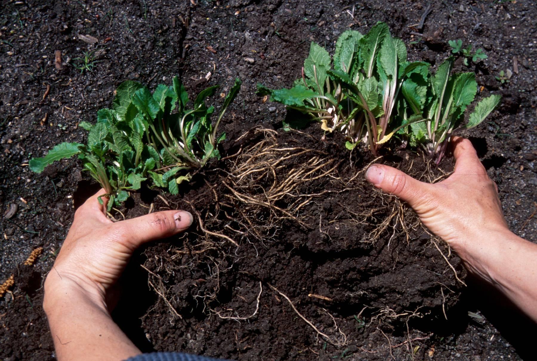 Барвинок: особенности выращивания и виды растения с фото