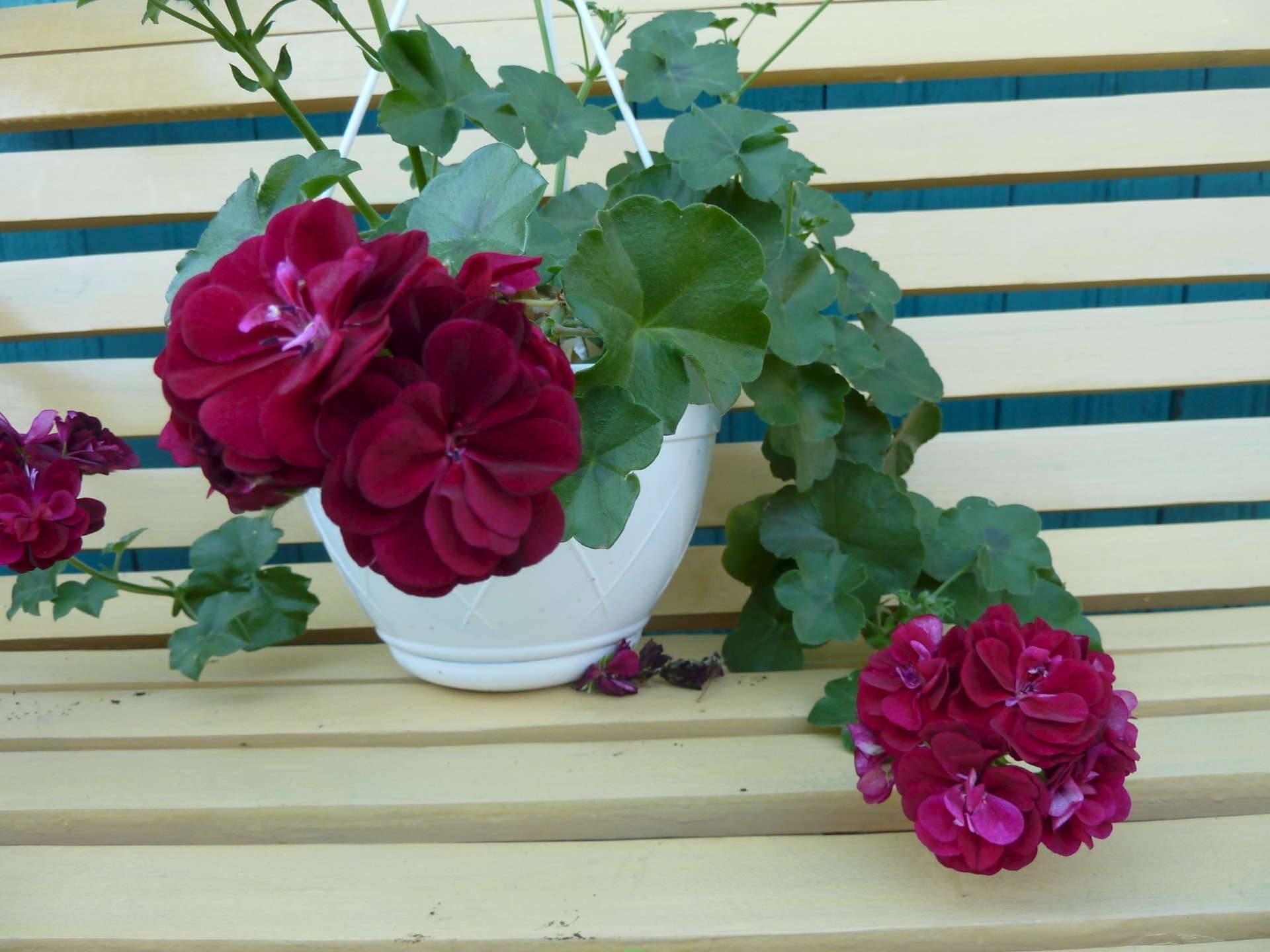 Практические рекомендации по выращиванию и уходу за плющевидной геранью в домашних условиях