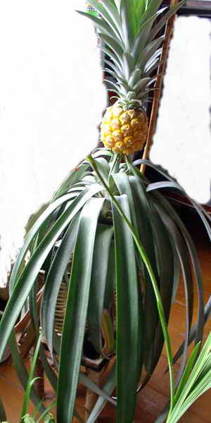 Комнатный ананас: советы по уходу в домашних условиях