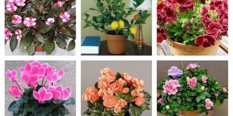 Как называется цветок любви комнатный приносящий в дом счастье