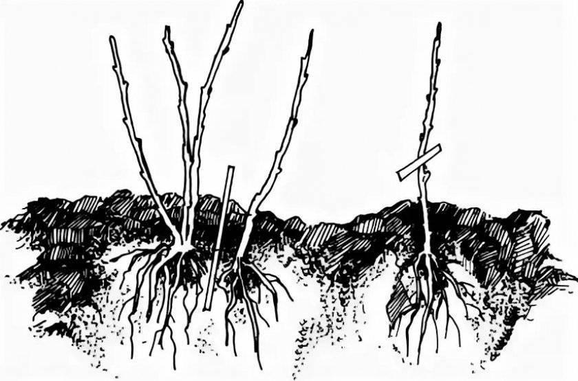 Посадка мальвы многолетней и уход за ней в открытом грунте