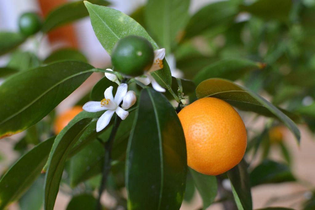 Цитрус каламондин как экзотическое комнатное растение
