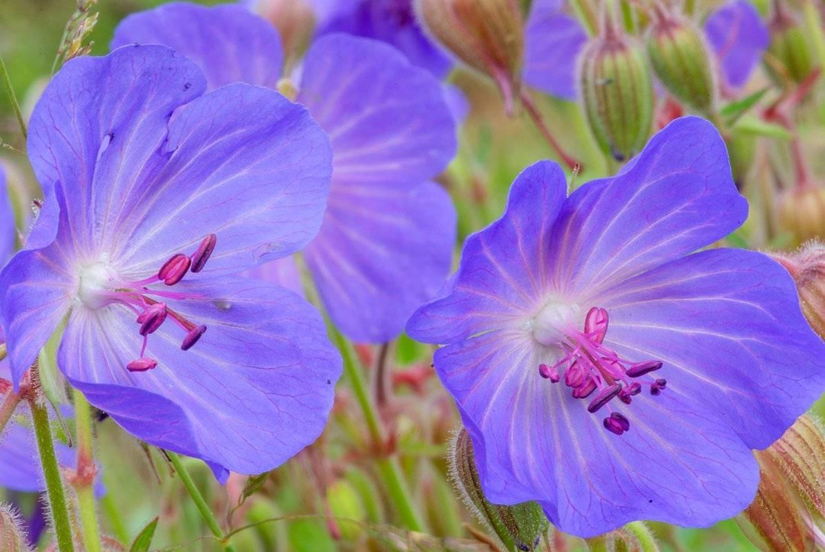 Описание герани луговой дикорастущей: лечебные свойства полевого цветка