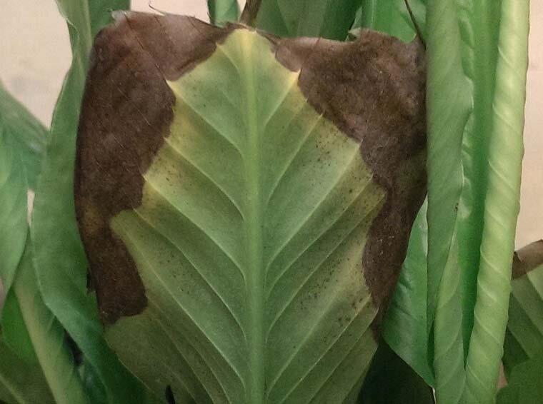 """Цветок """"женское счастье"""" сохнет: почему желтеют и вянут кончики листьев у спатифиллума, что делать при этой проблеме, как ухаживать за растением в домашних условиях?"""