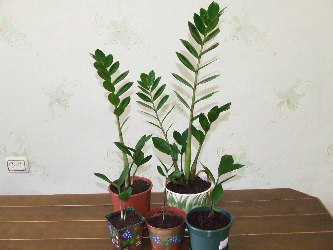 Цветок замиокулькас: описание, видео ухода пересадки, полива в домашних условиях и размножение растения