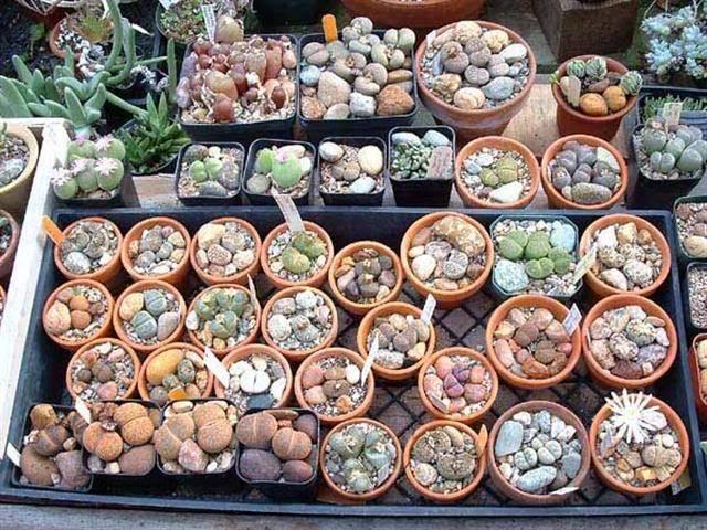 Уход и содержание литопсов (живых камней) в домашних условиях