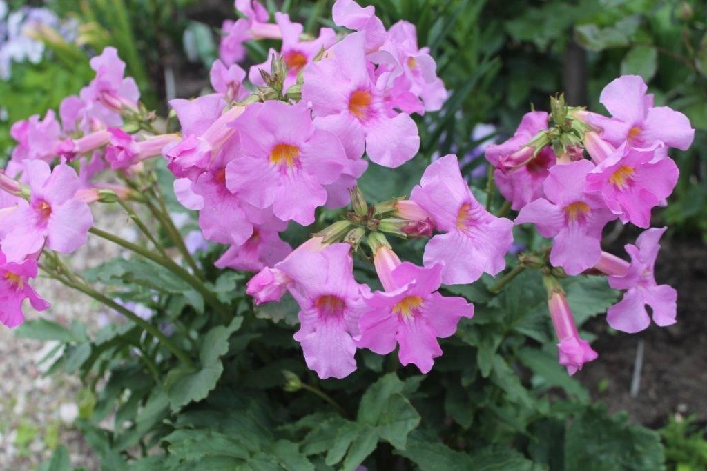 Цветок инкарвиллея деление корня и посадка. инкарвиллея делавея, посадка и уход