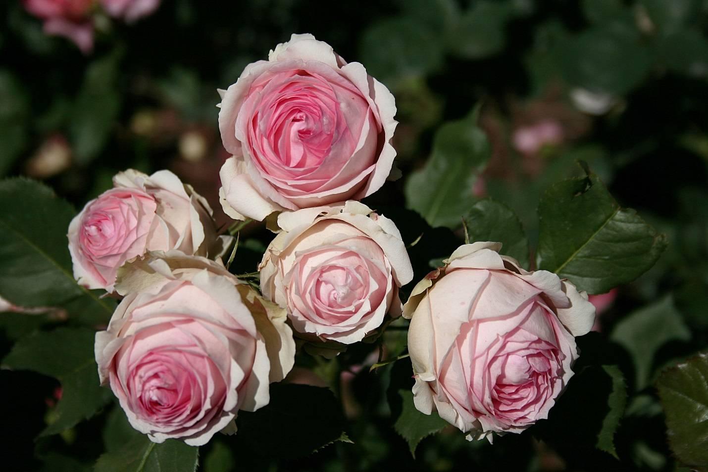 Роза ферст леди фото и описание отзывы
