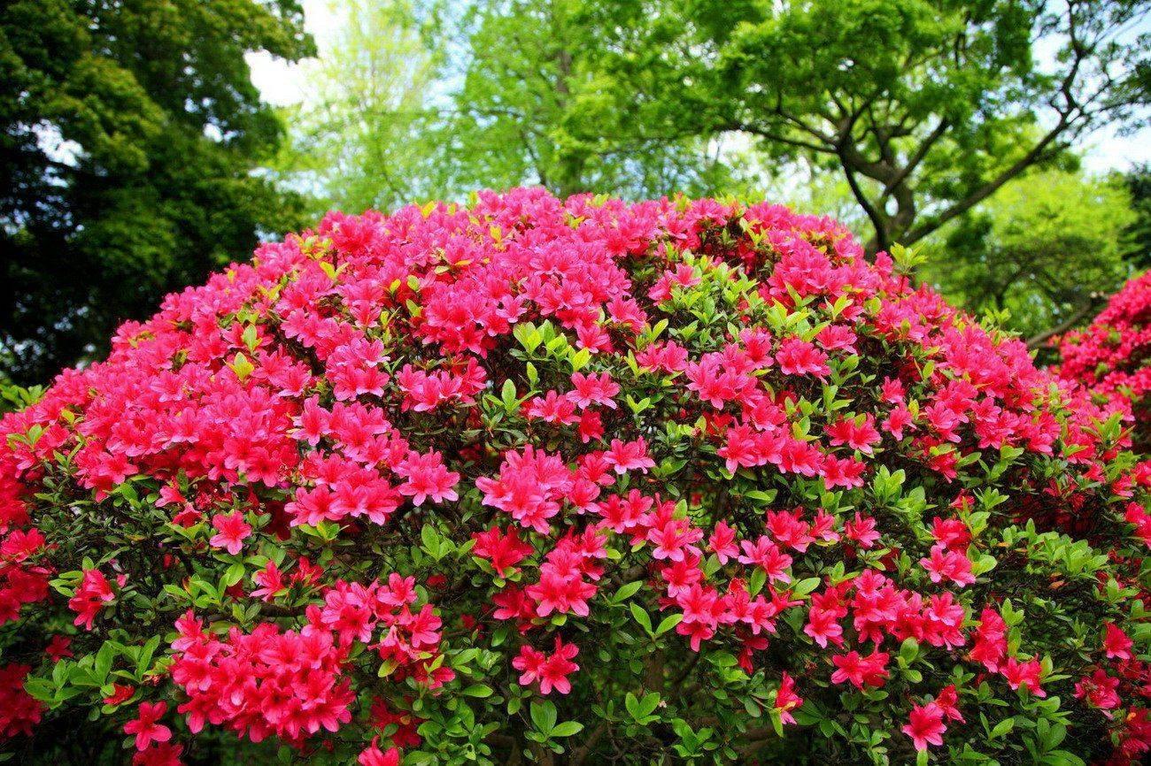 Посадка азалии садовой в открытом грунте: как ухаживать за японским кустарником
