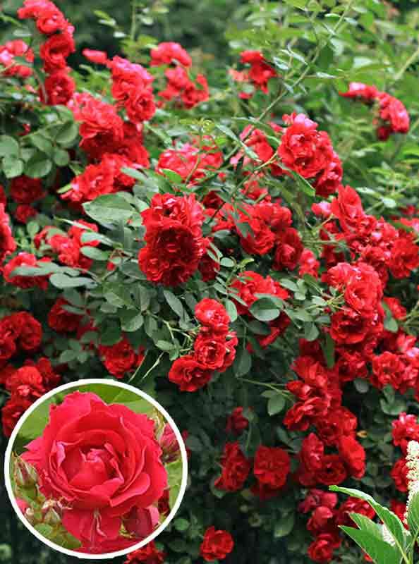 Плетистые розы группы «клаймбер»