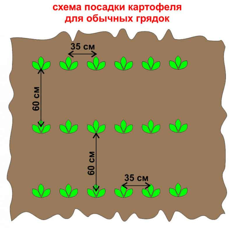 Посадка смородины: расстояние между кустами и рядами