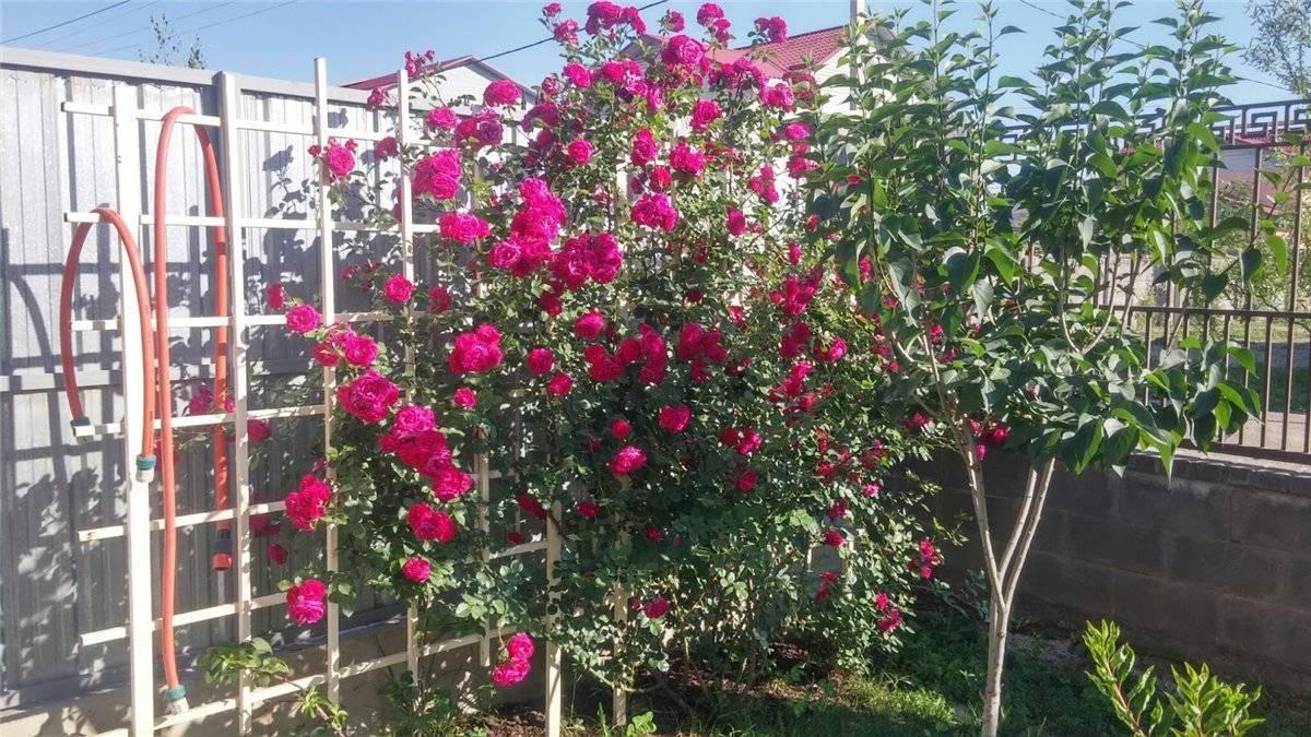 Особенности выращивания плетистой розы дон жуан