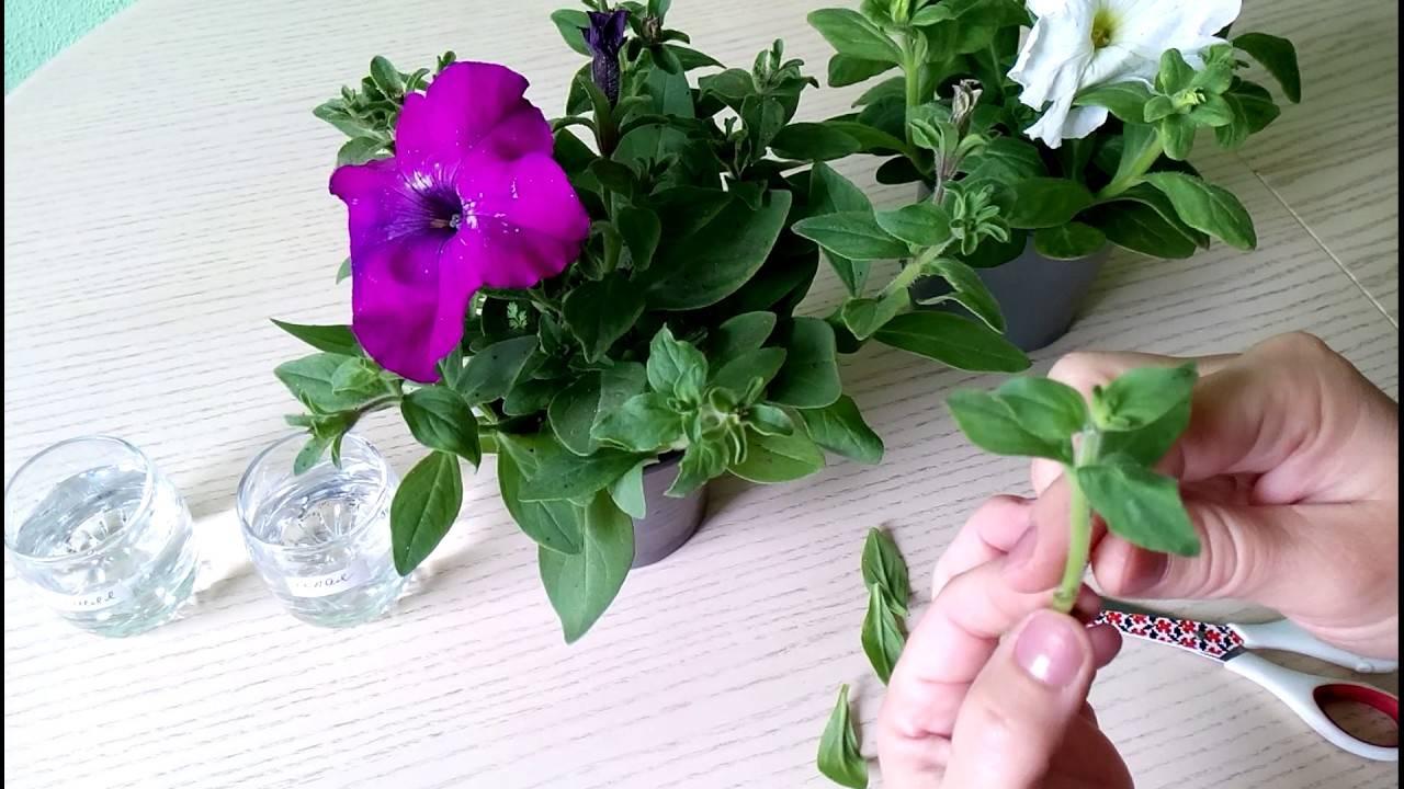 Как прищипывать петунию и правильно формировать ее куст