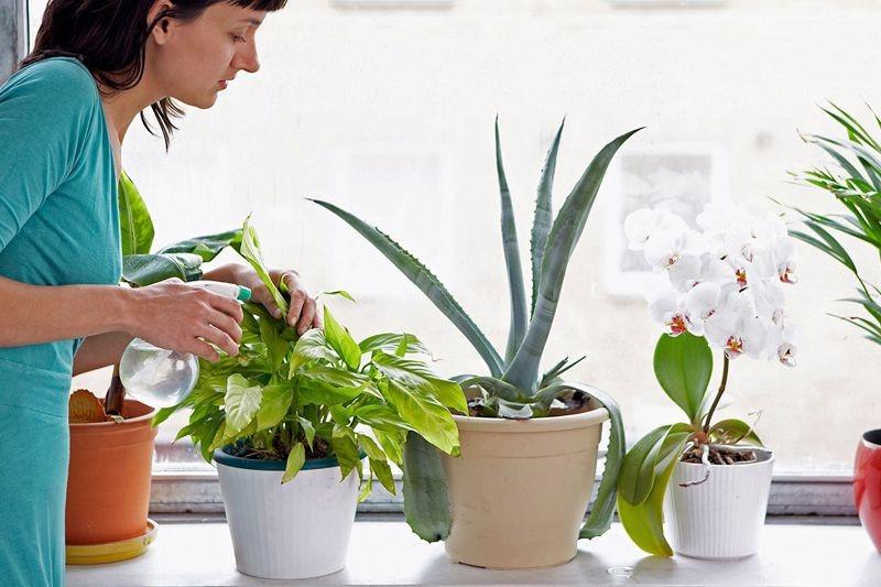 Сансевиерия цилиндрическая — самое простое в уходе комнатное растение