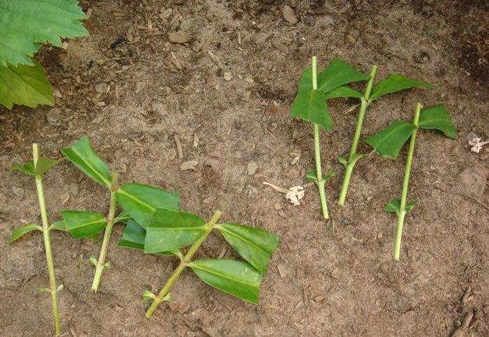 Все о размножении многолетних флоксов (как разводить растение на даче)