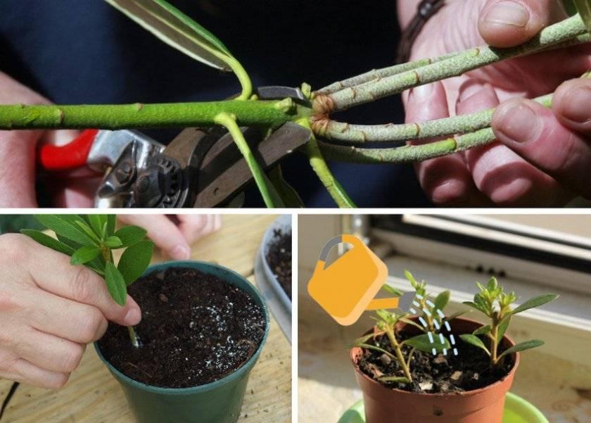 Как можно размножить азалию в домашних условиях