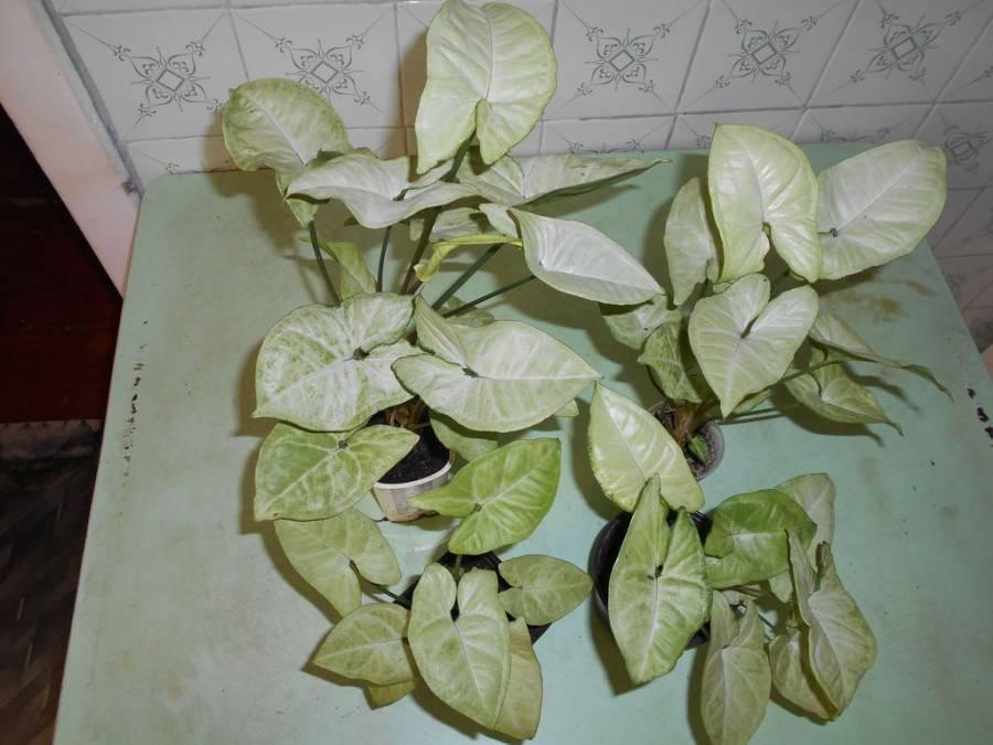 Сингониум: как вырастить шикарную лиану в домашних условиях