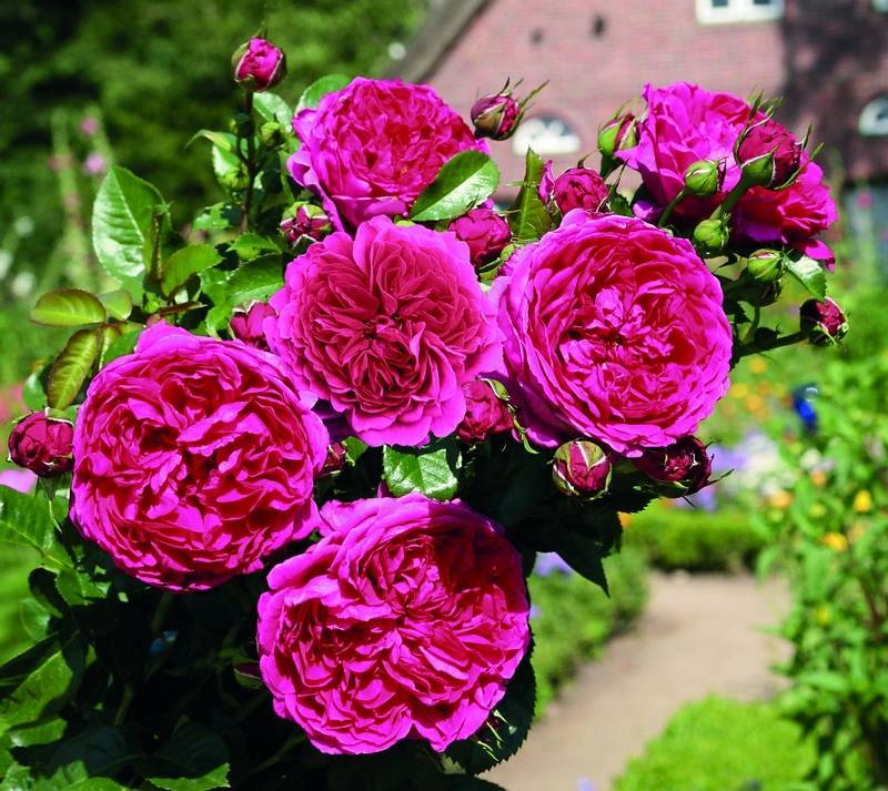 Роза барок (barock) — описание немецкого сорта
