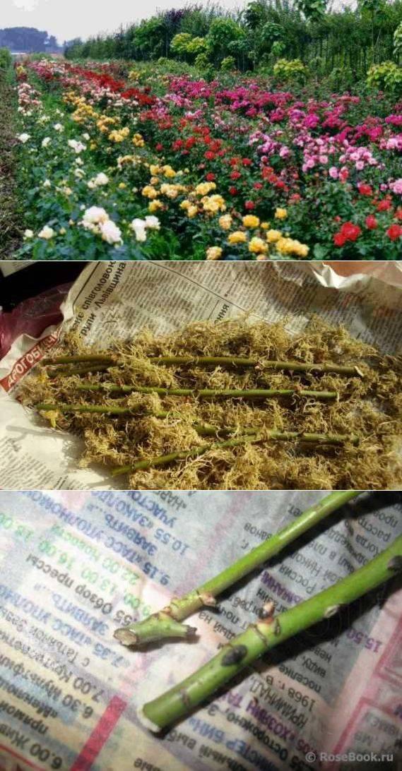 Правила черенкования роз осенью методом бурито