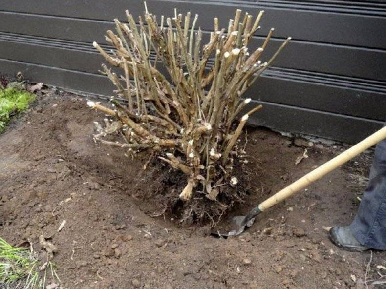 Любимые кустарники для сада: посадка чубушника и уход за ним - общая информация - 2020