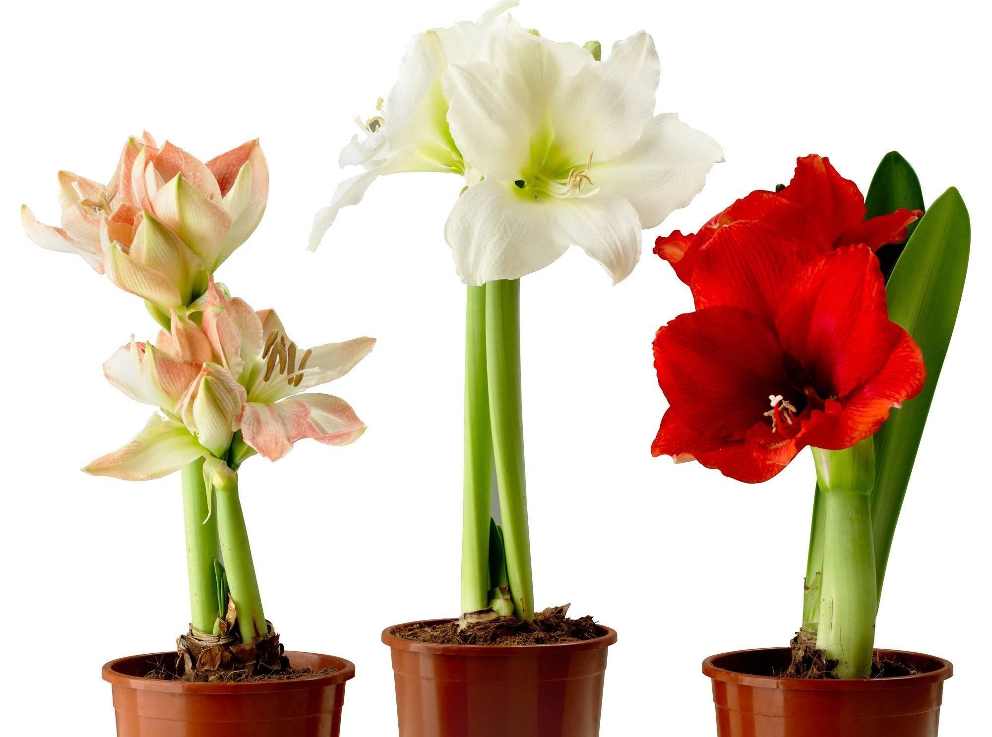 Амариллис и гиппеаструм: отличия, описание и фото, а также как верно определить растение и в чем заключается уход в домашних условиях?