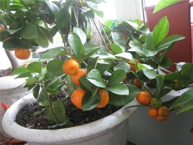 Выращивание каламондина, уход в домашних условиях