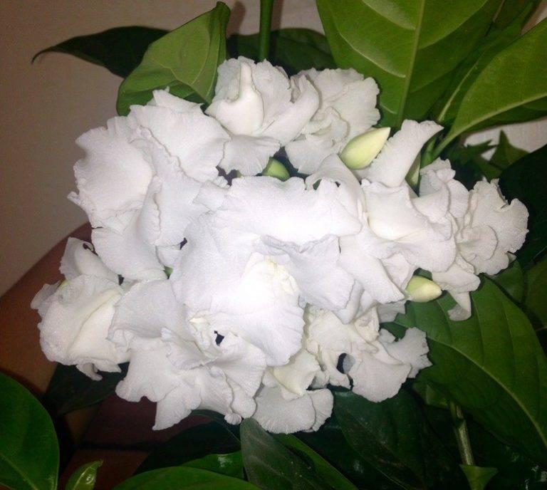 Табернемонтана (tabernaemontana). формирование, цветение, размножение, уход дома.
