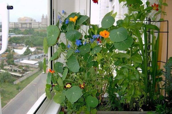 Выращивание изящной настурции из семян и рассады
