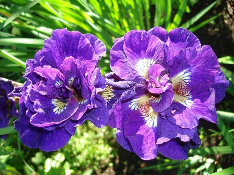 Ирис сибирский: неприхотливый красавец в вашем саду