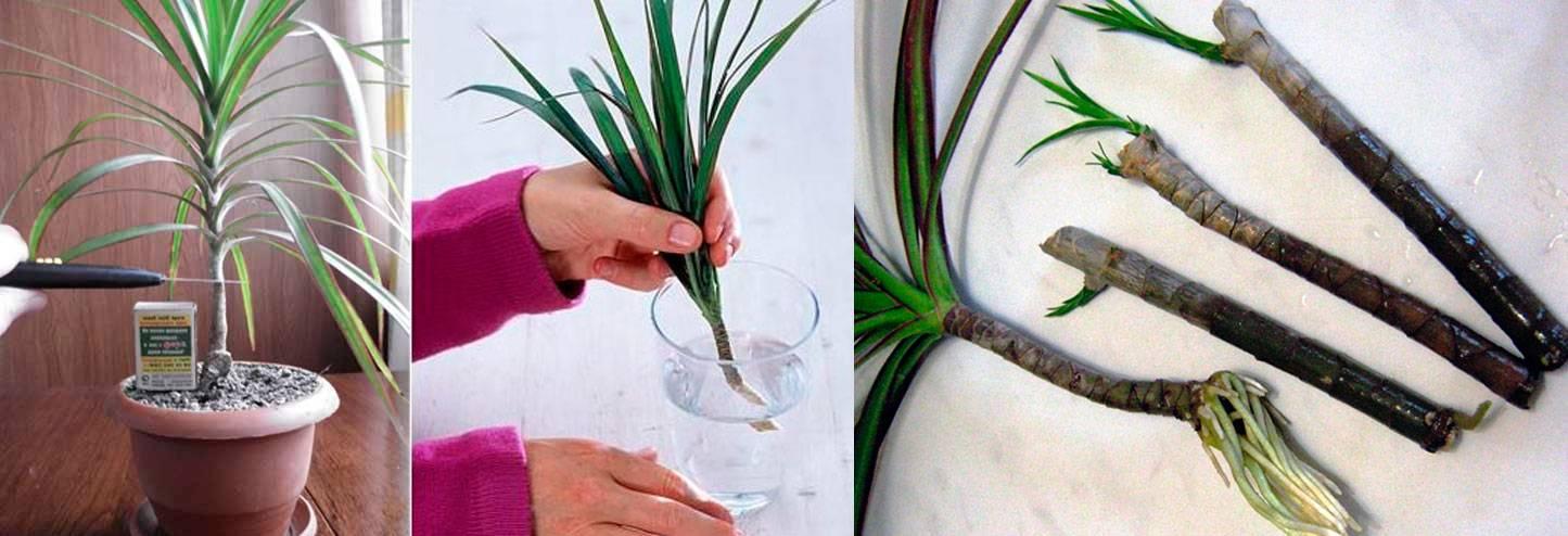 Как пересадить драцену, и можно ли обрезать корни у драцены при пересадке
