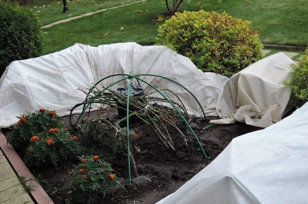 Как укрыть розы на зиму в саду, чтобы сохранить