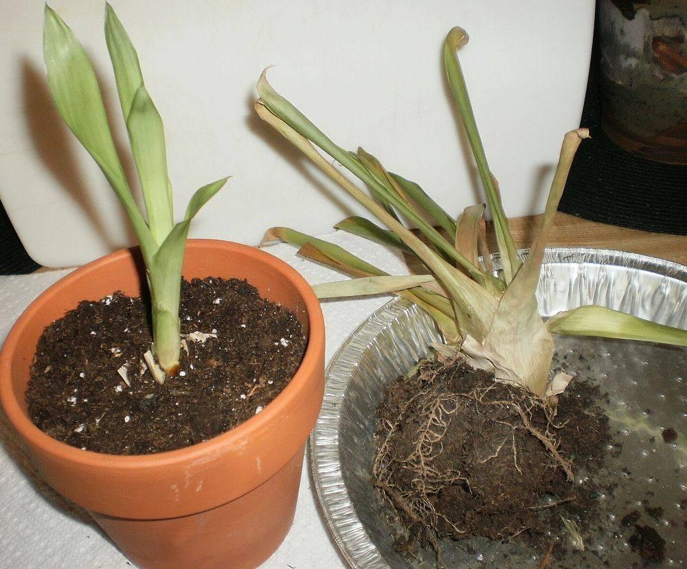 Пахистахис – уход в домашних условиях, фото, размножение, обрезка и проблемы в выращивании