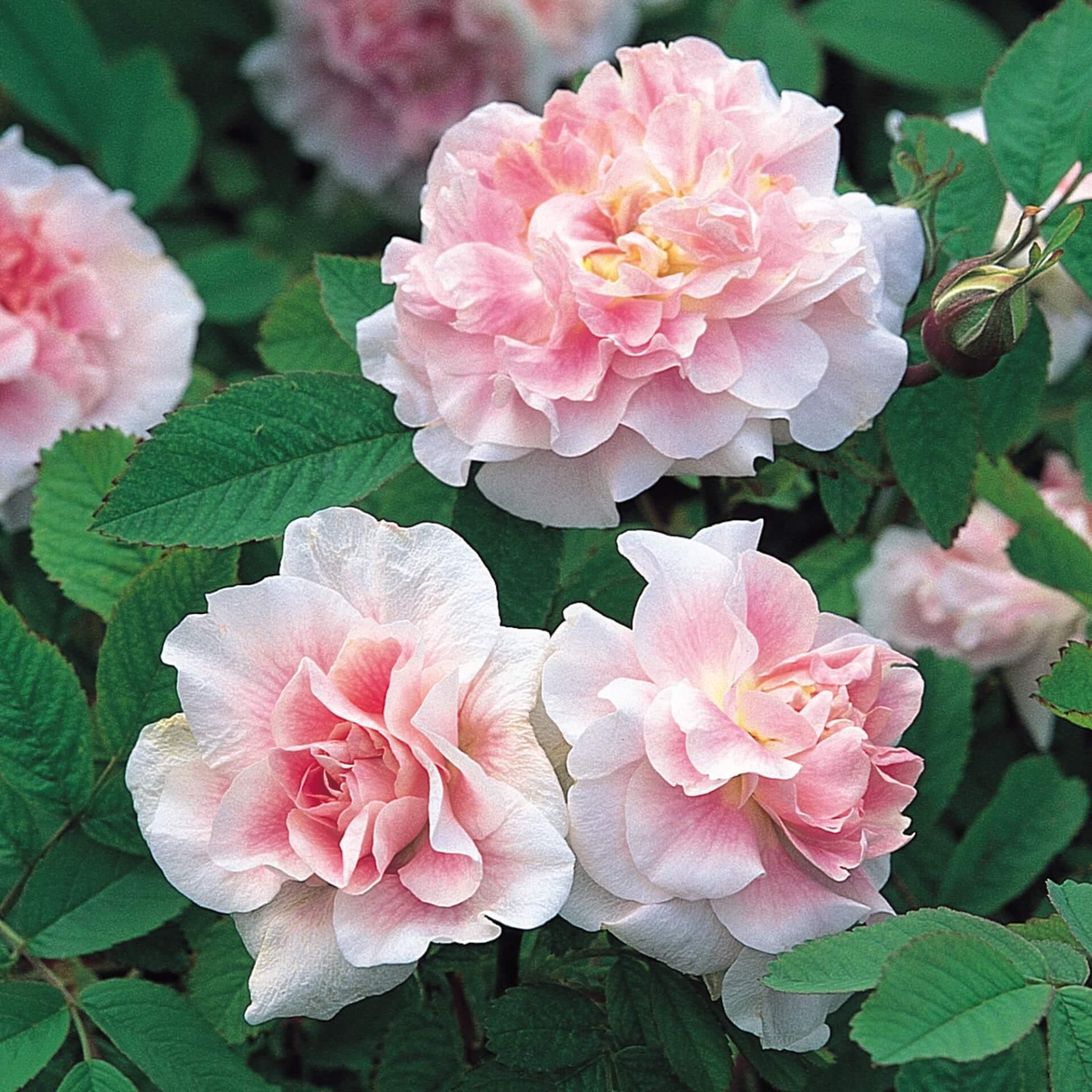 Роза реми мартин (remy martin)