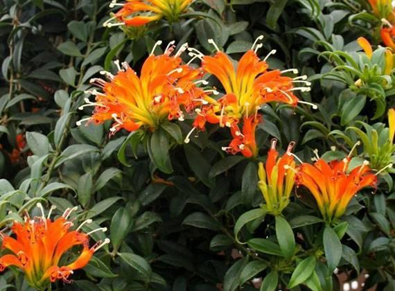 Виды якобинии с фото — уход за цветком в домашних условиях