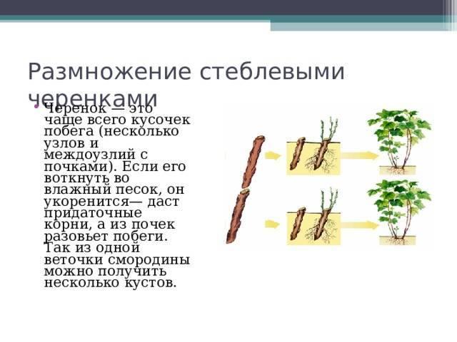 Посадка пионов весной в грунт. как сохранить пионы до посадки