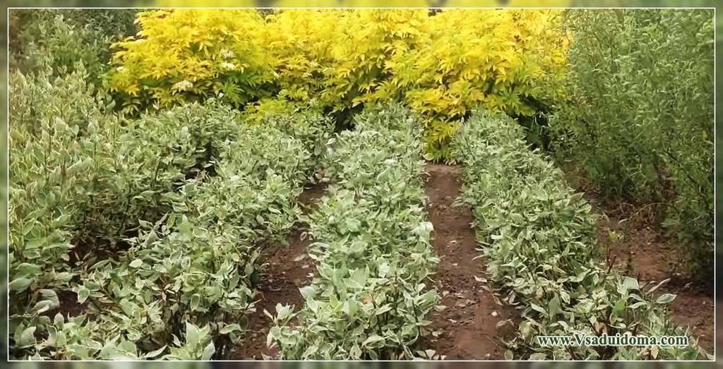 Дерен пестролистный: размножение черенками, особенности выращивания, формирование куста