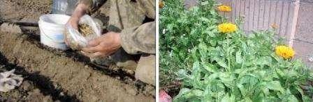 Календула: как выглядит, как и когда сажать семена
